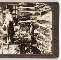 'Feeding Silk Worms...'  about 1900 .