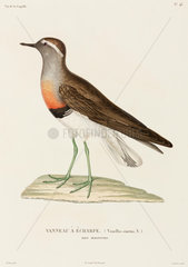 Collared plover  Falkland Islands  1822-1825.