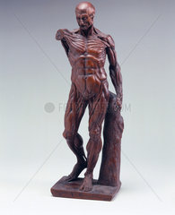 Carved wooden male anatomical figure  1731-1770.