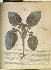 Cabbage. An illustration from Dioscorides C