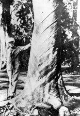 Sir Henry Wickham  British botanist and plantation owner  c 1900.