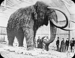 Mammoth found in ice in Siberia  19th Centu