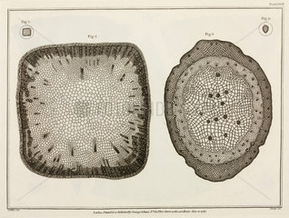 Magnified plant material  1787.