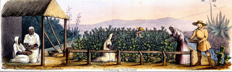 'Gathering Cochineal'  1845.
