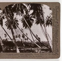 'Coconut palms near Aguadilla  Porto Rico...'  about 1900 .