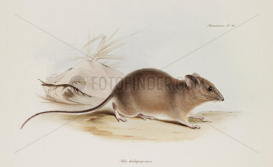 Mouse  Galapagos Islands  c 1832-1836.