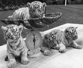 White tiger cubs  Bristol Zoo  June 1970.