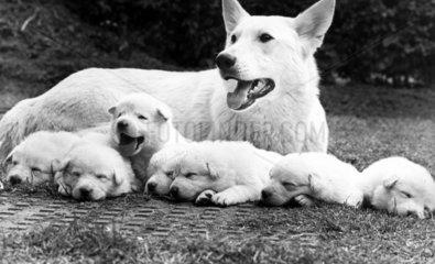 Pedigree white Alsatian with pups  June 1973.