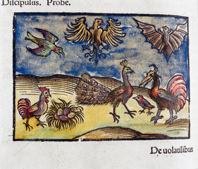 Birds and a bat  1535.