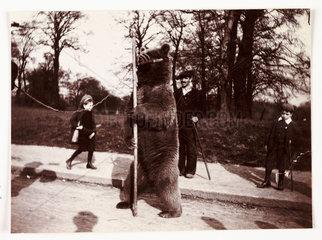 Dancing bear  c 1905.