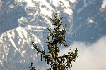 Fir tree with cones  Innsbruck  Austria  2007.