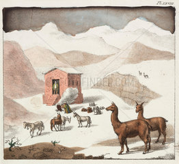 Guanacos  Valley of the Cuevas  Andes mountains  Chile  1820-1821.