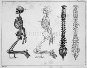 'Skeleton - Vertebral column'  c 1815-1859.