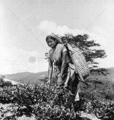 Woman plucking tea leaves  Ceylon (Sri Lank