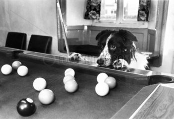 Snooker-mad dog  January 1988.