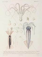 Octopus and squid  1822-1825.