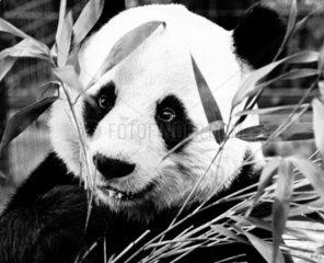 Chia-Chia the panda  London Zoo  April 1980.