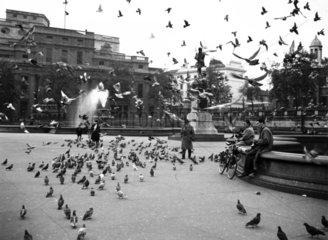 Pigeons flying around Trafalgar Square in L