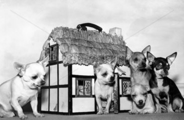 Chihuahuas with thatched cottage carrying box  March 1957.