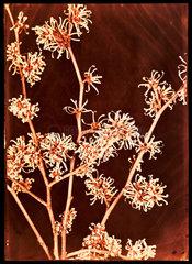 Flowering bush  c 1940.