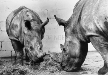 White rhino and mother  October 1974.