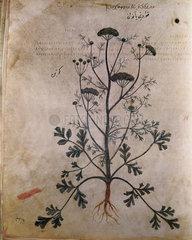 Coriander. An illustration from Dioscorides