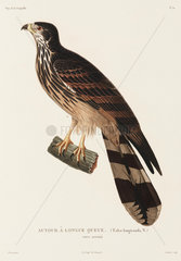 Long-tailed falcon  New Guinea  1822-1825.