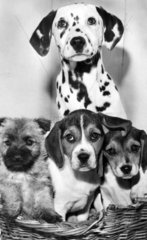Puppies at RSPCA kennels  February 1969.