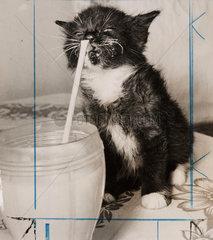 Kitten drinking milk through a straw  August 1957.