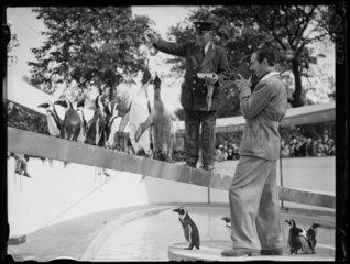 Walt Disney filming penguins at London Zoo  1935.