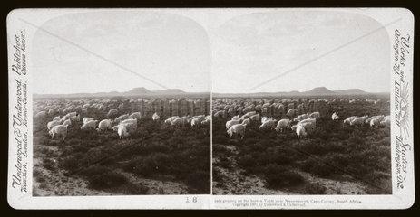 'Goats grazing on the barren Veldt near Naauwpoort  South Africa'  1900.