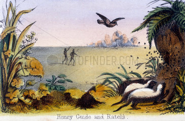 'Honey Guide and Ratels'  c 1845.