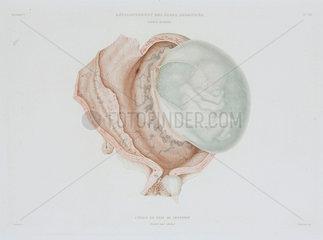 Human foetus at four months  c 1847-1859.