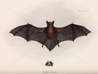 Bat  South America  c 1832-1836.