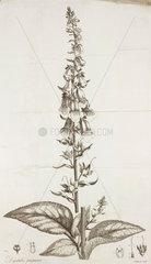 Foxglove  1785.