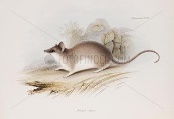 Opossum  c 1832-1836.