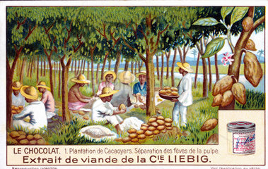 Cocoa plantation - separation of beans from the pulp  French Liebig trade card  c 1910.