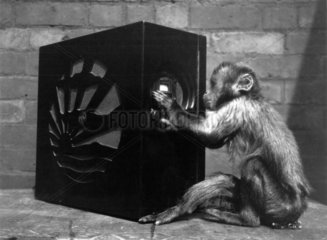 Monkey tuning in a radio receiver  c 1930s.