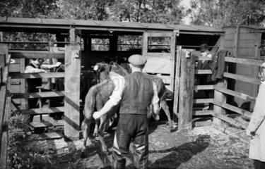 Livestock traffic  1937.