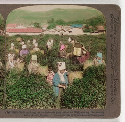 'Girls picking tea...'  1904 .