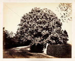 A tree in bloom  c 1855.