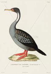 Gaimard's cormorant  Lima  Peru  1822-1825.