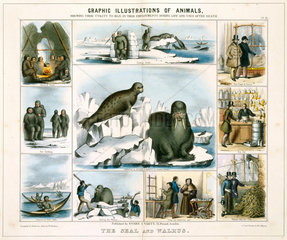 'The Seal and Walrus'  c 1845.