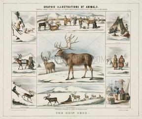 'The Rein Deer'  c 1845.