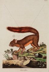 Caucasian squirrel  1776.