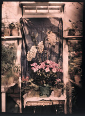 Autochrome of flowers in a greenhouse  c 1908.