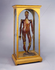 Wax male anatomical figure  Italy  1776-1780.