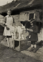 Two girls feeding goats  c 1940s.