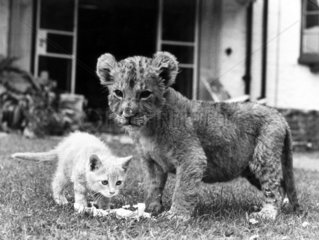 Lion cub and kitten  1979.