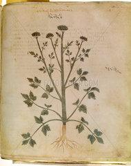 Marsh celery. An illustration from Dioscori